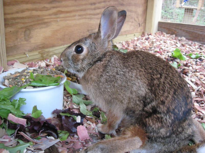 Resident rabbit, was hit by car