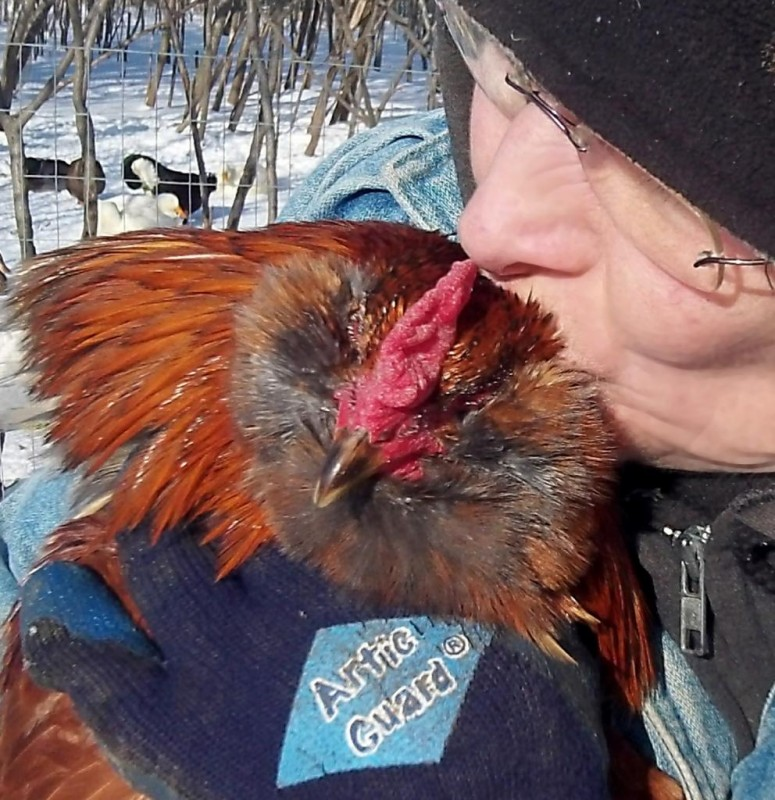 Formerly abandoned rooster that seeks companionship from volunteers
