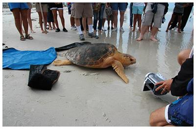 Our Most Recent Release - Drew, a Loggerhead Sea Turtle