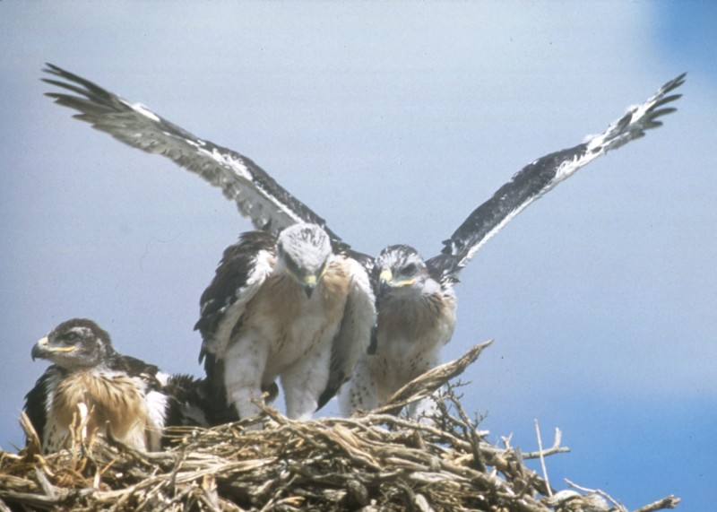 Ferruginous hawk nestlings photo by Mike McClure.