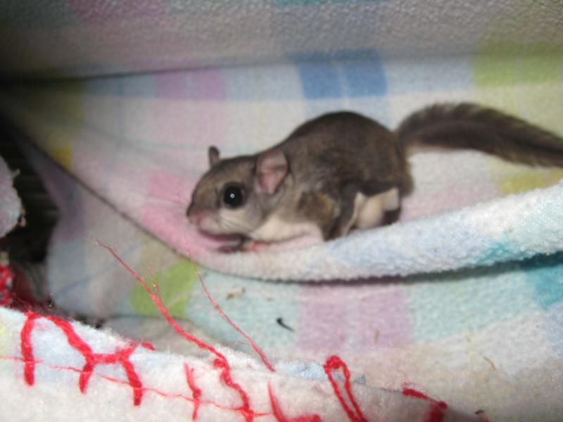 Juvenile flying squirrel