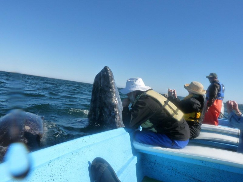ON Board member Fred Lundahl plays harmonica to a friendly Gray in Baja!