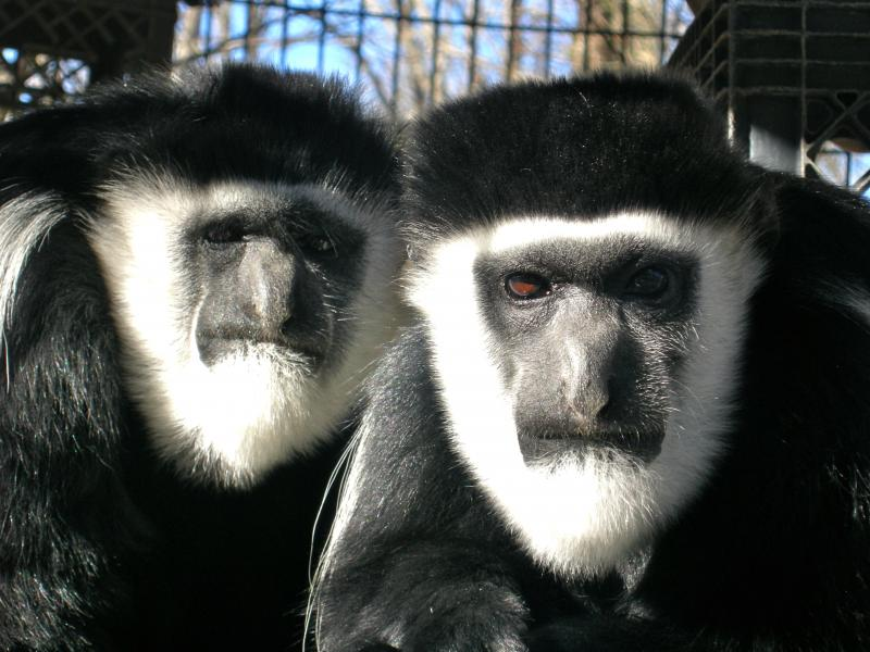 Gwen and Alex the colobus monkeys are always by eachothers' side!