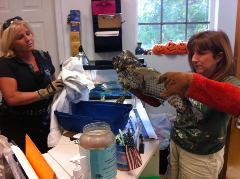 An injured hawk is admitted to our hospital.