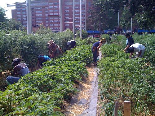 Students working in their school garden. (High School for Public Service, Brooklyn)