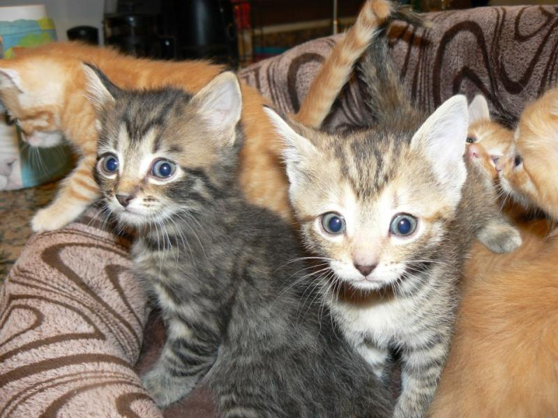 Kittens raised in our foster homes