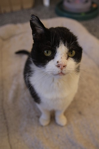 Licorice was a feral FIV+ cat, trapped at Fitzsimmons, now very friendly.