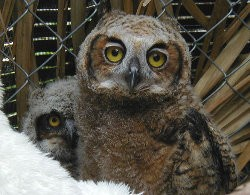 Links (Great Horned Owl) fostering