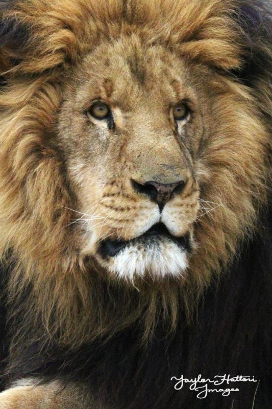 Matthai Lion