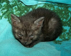 Minimite, a 5 week old Black Smoke Tabby, was rescued from a Dumpster.