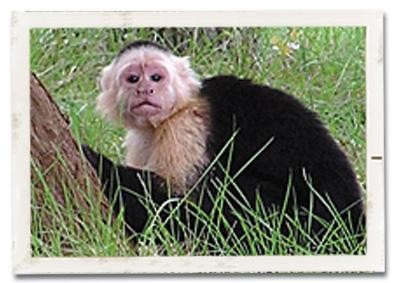 Capuchin Monkey at WRR