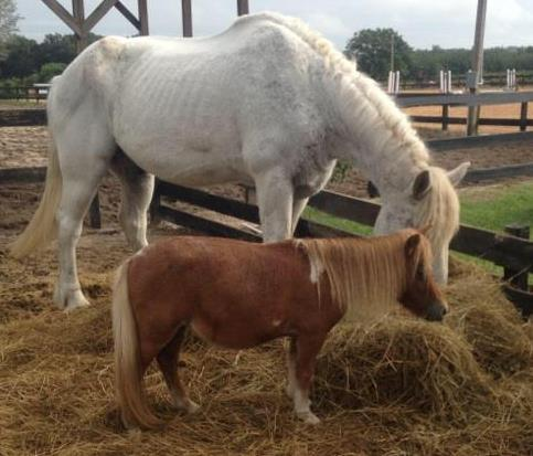 our tallest rescue Olaf - a percheron with our smallest rescue Daisy - miniature horse