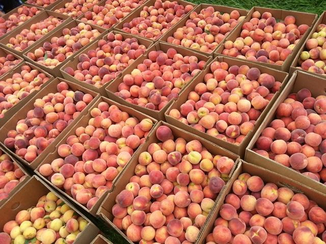 Peaches picked by our Merck volunteers in July 2013.  Thank you, Merck!
