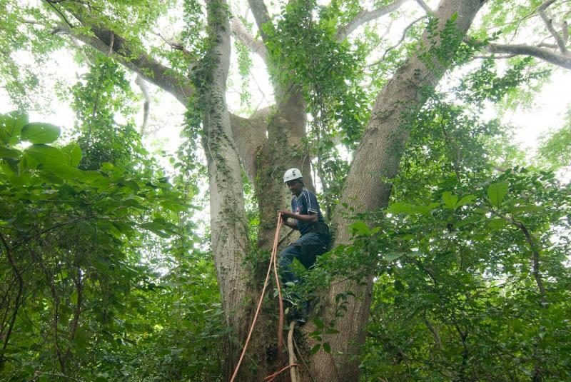 Paso Pacifico Ranger Juan Carlos climbs to check one of our many artificial nesting sites constructed for the endangered yellow-napped parrot.