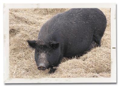 Pig at WRR