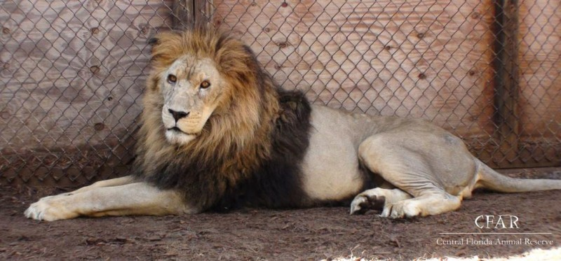Elvis, lounging lion king.