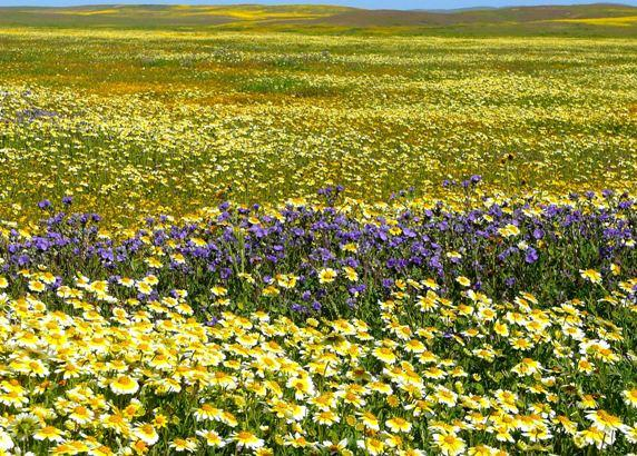 A beautiful splash of color in the Carrizo Plain.