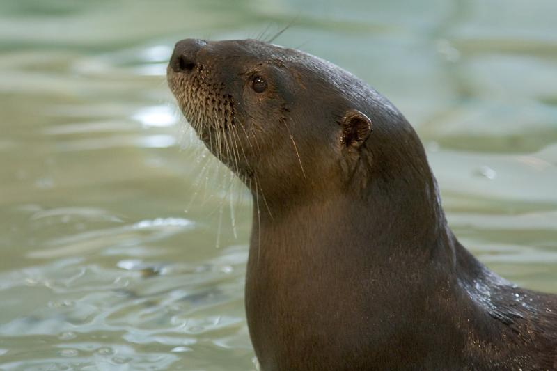 One of Our Otters, Cooper