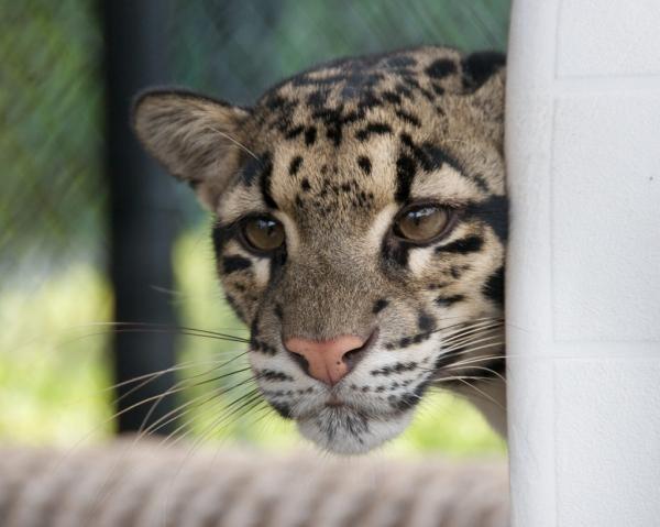 Suki the Clouded Leopard