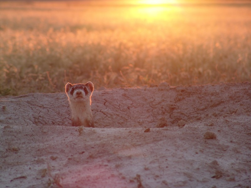 Black-footed ferret at sunrise in Conata Basin, SD
