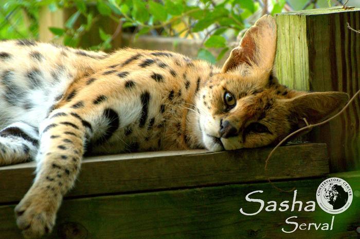 Sasha Serval