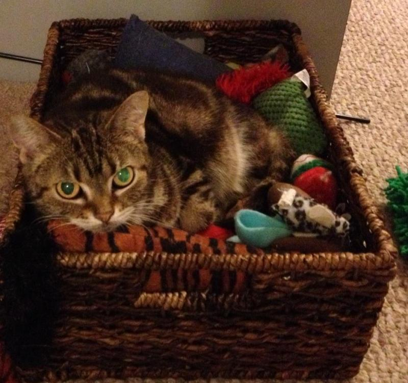 Our cats get lots of toys in their foster homes!