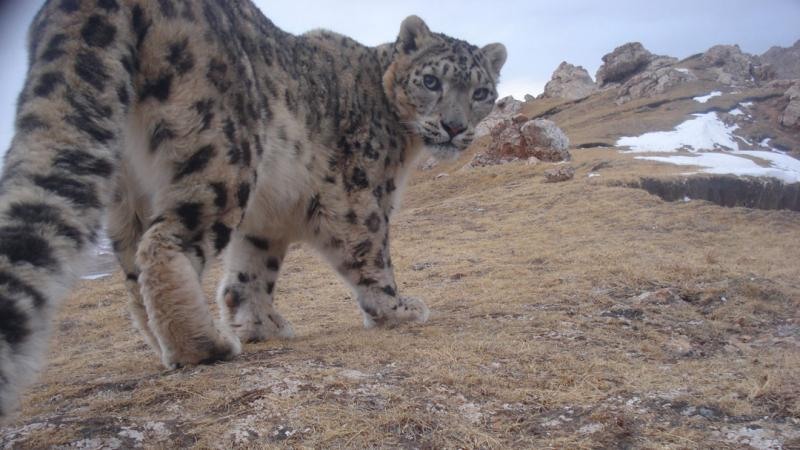 a wild snow leopard, caught on camera in China