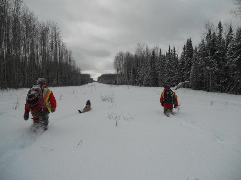 A Ck9 teams searches the snow for moose, caribou and grey wolf scat in Northern Alberta.