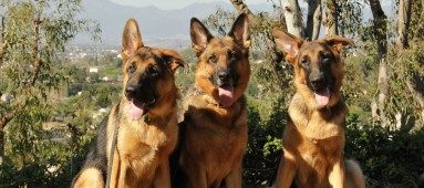 German Shepherd Safe Haven Inc