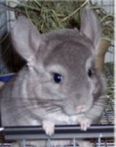 Forever Feisty Chinchilla Rescue Inc