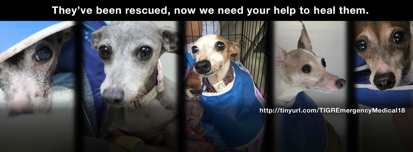 Greyhound Dog Rescue In Texas