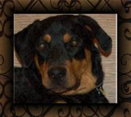 Rottweiler Hearts Rescue