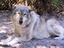 Shy Wolf Sanctuary Education and Experience Center Inc