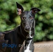 Greyhound Adoption League of Texas Inc