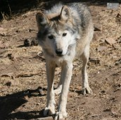 California Wolf Center