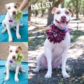 Fresno Bully Rescue, Inc.