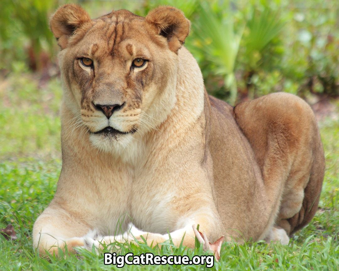 Big Cat Rescue Corp Reviews And Ratings Tampa Fl Donate Volunteer Review Greatnonprofits