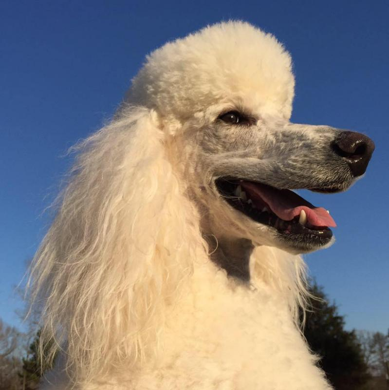 Carolina Poodle Rescue Reviews and Ratings   Pacolet, SC