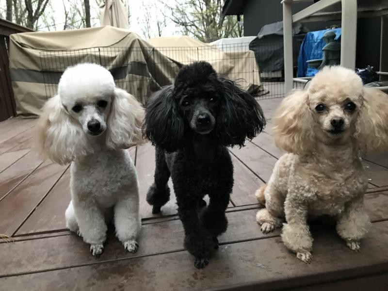 Toy Poodle Rescue Reviews And Ratings Dover Ma Donate